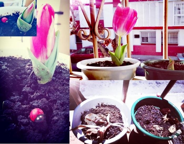 tulipaneo